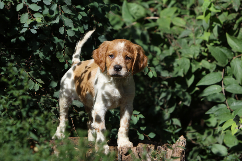 epagneul breton cachorro